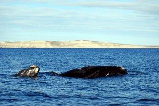 20080912181111-ballena-y-cachalote.jpg