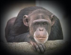 20060824130842-chimpance.jpg
