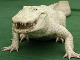 20100326084308-caiman-albino.jpg